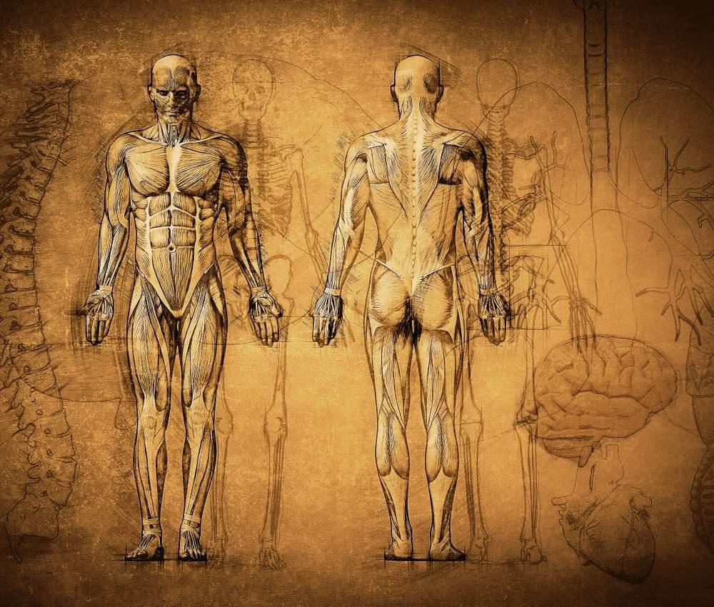 Humanbiologie Trainerschein Kraft- und Gesundheitstrainer Trainerausbildung